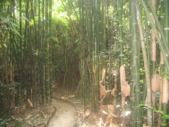 bamboo along one of many jungle pathways