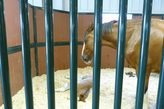 Warm Springs Ranch: One of the mothers in her stall with her foal.