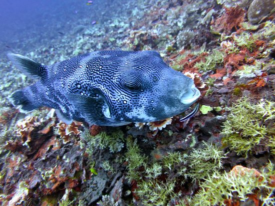 Scuba Froggy - Senggigi: Giant Pufferfish at the dive site Secret Garden