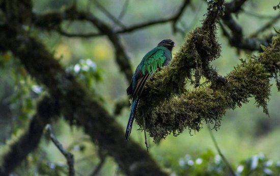 Trogon Lodge San Gerardo de Dota: Female Quetzal