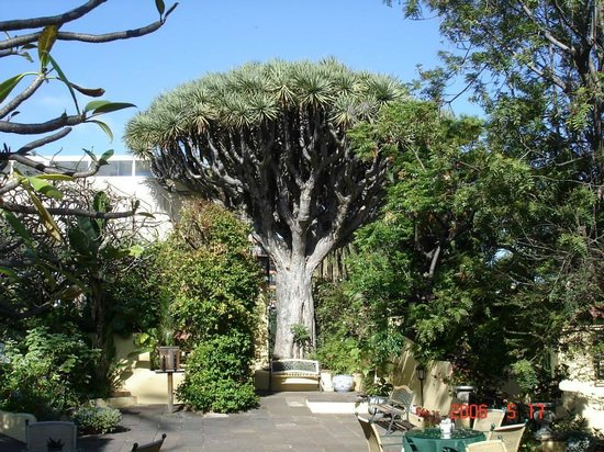 Puerto de la Cruz, Espagne : 400 YEAR OLD DRAGON TREE-SITIO LITRE