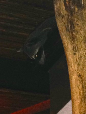 Arenas del Mar Beachfront & Rainforest Resort: Raccoon in restaurant
