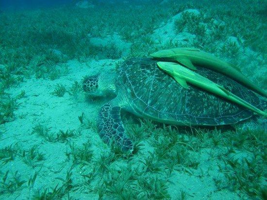 Blue Reef Red Sea Resort : turtle bay