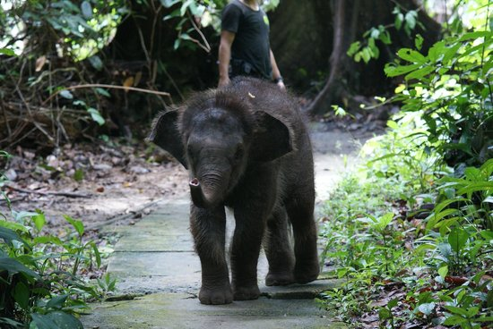 Startled pygmy elephant - Picture of Sepilok Orangutan ...