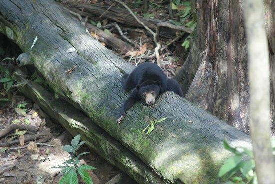 Bornean Sun Bear Conservation Centre: Sun bear chilled out