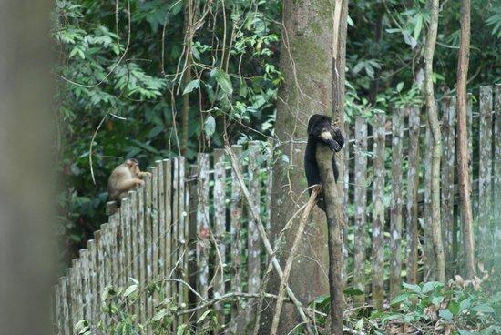 Bornean Sun Bear Conservation Centre: Sun bear with macaque onlooker