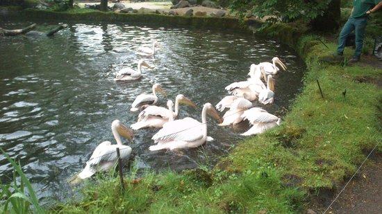 Tierpark Hagenbeck: Pelican Feeding