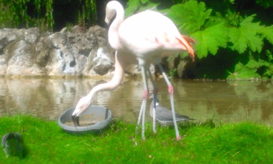 Dudley Zoo and Castle : flamingo