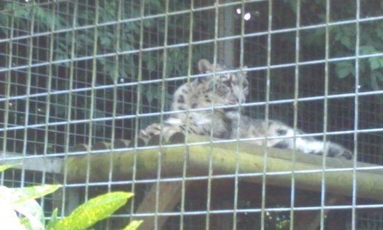 Dudley Zoo and Castle : snow leopard