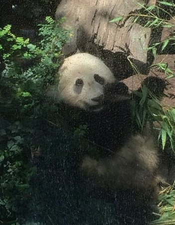 San Diego Zoo : Panda Cub!