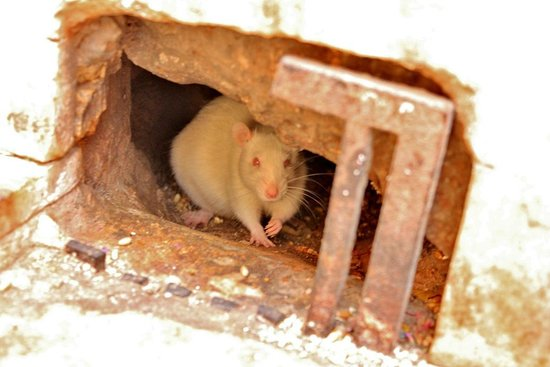Jagdish Temple: White rats around temple premise!