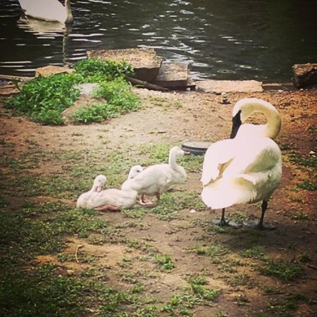 Lincoln Park Zoo : Swan family.