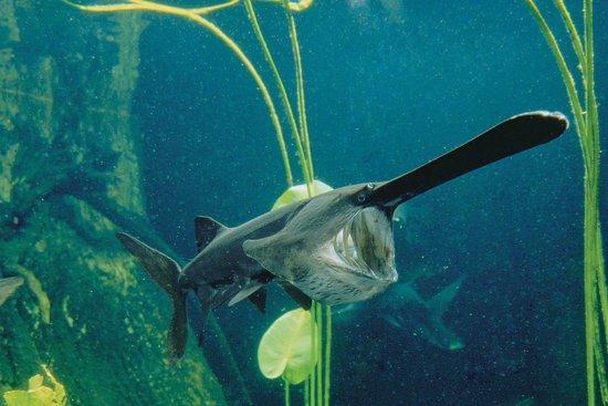 Tennessee Aquarium : Paddlefish, a strange freshwater fish native to Tennessee.
