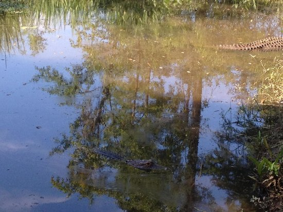 Brookgreen Gardens : Alligators at the zoo