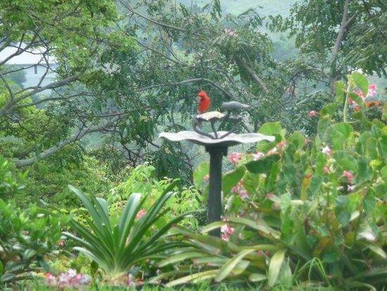 Belle Vue Kona B&B: Lovely flowers & birds outside our suite.