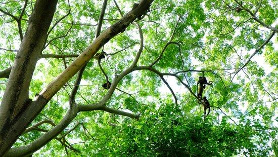 San Simian Eco Lodge: Howler monkeys