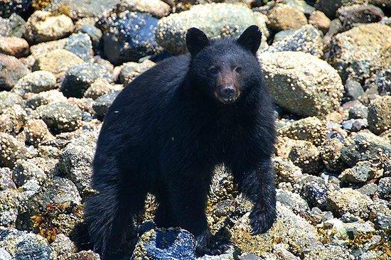 The Whale Centre & Museum: Black Bear in Fortune Channel near Tofino, British Columbia