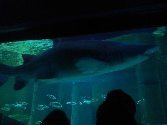 Acquario di Cattolica : Lo squalo toro (non è il solo!)