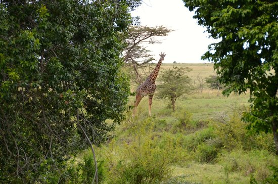 Olare Mara Kempinski Masai Mara: Giraffe looking at us from the patio