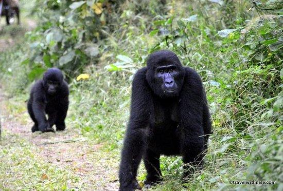 Bwindi Impenetrable National Park : Silver Back Gorillas