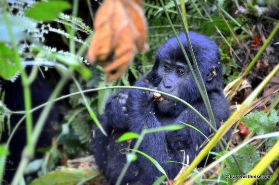 Bwindi Impenetrable National Park : Baby Silverback