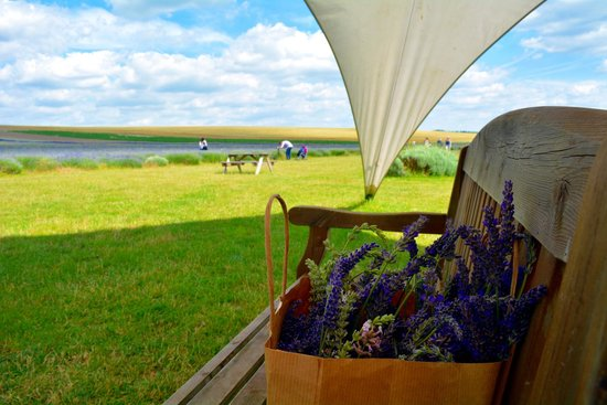Hitchin Lavender : Freshly Picked