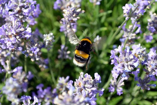 Hitchin Lavender : Busy Bee