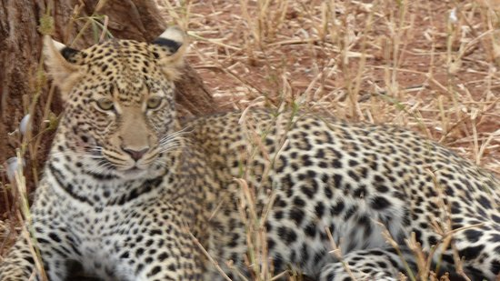 Eyes on Africa Safaris Day Tours: Leopard