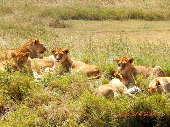 Eyes on Africa Safaris Day Tours: Lions