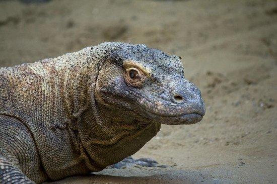 Prager Zoo: Drago di komodo praga