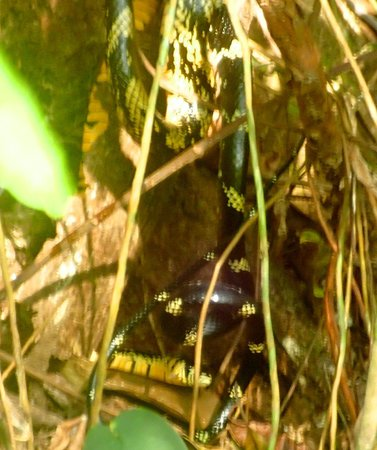 Las Cascadas Lodge: Tiger Rat Snake just off the trail