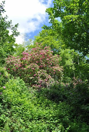 Powerscourt Hotel, Autograph Collection: Huge rhododendrons on the walk