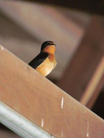 Bonneyville Mill County Park : Little Barn Swallow