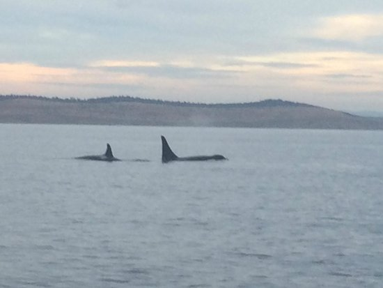 Eagle Wing Whale Watching Tours: Orcas