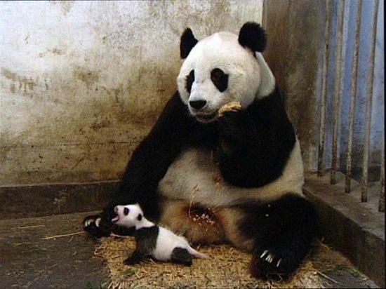Plough Hotel: Sneezing Baby Panda