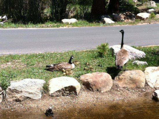 Bear Lake Trailhead: Geese with 5 little ones.