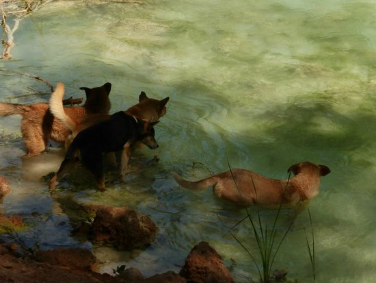 Havasupai Falls : Local dogs cooling off in Havasu Creek