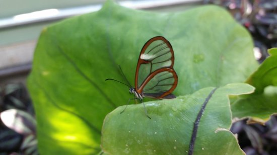 The Original Mackinac Island Butterfly House & Insect World: See through wings!
