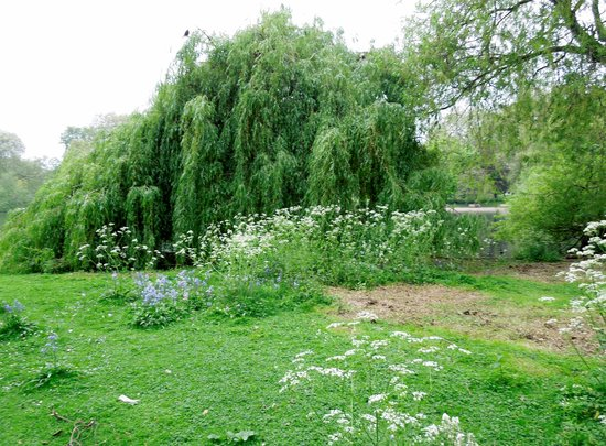 Parque de St. James: Weeping willows