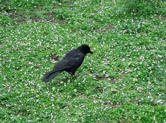 Parque de St. James: Mr. Blackbird