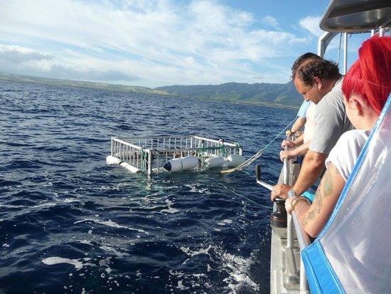 North Shore Shark Adventures: Shark Cage