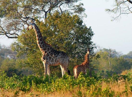 Londolozi Private Game Reserve: Giraffe and baby