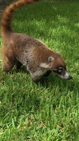 IBEROSTAR Paraiso Del Mar: Coati. So cute!!!