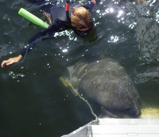 Manatees In Paradise : mergulho com peixe-boi