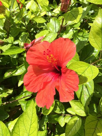 PortBlue Club Pollentia Resort & Spa: Hibiscus