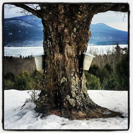 Ashokan Dreams B&B: Collecting Maple Sap for Maple syrup.