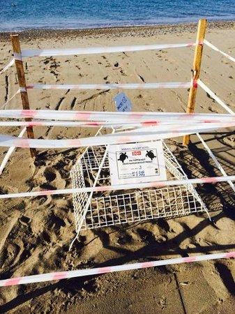Xanadu Resort Hotel: огромные черепахи по ночам откладывают яйца и их бережно охраняют
