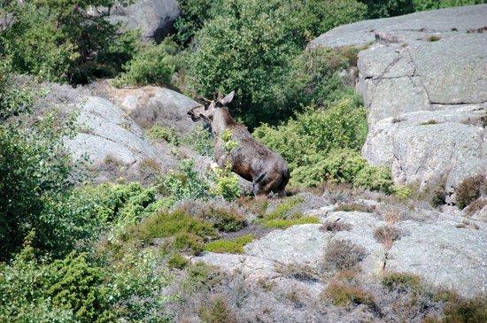 Bohuslän, Suecia: Gespotte eland