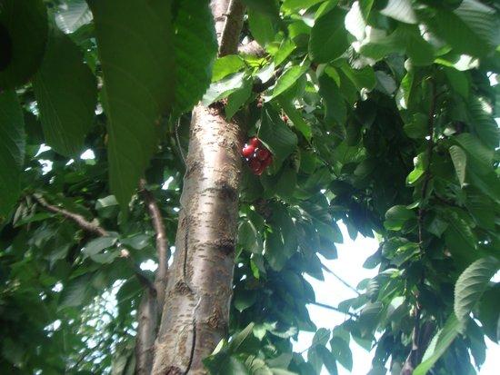 Banjara Camps - Thanedar: Cherry