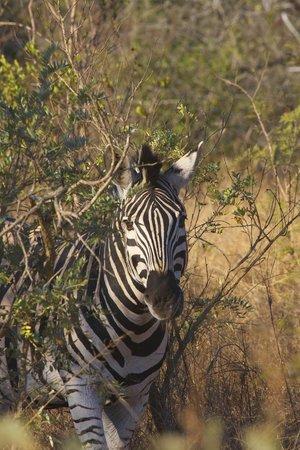 Tydon Safari Camp: Zebra peekaboo